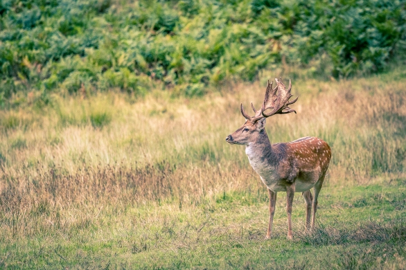 Deer in the New Forest