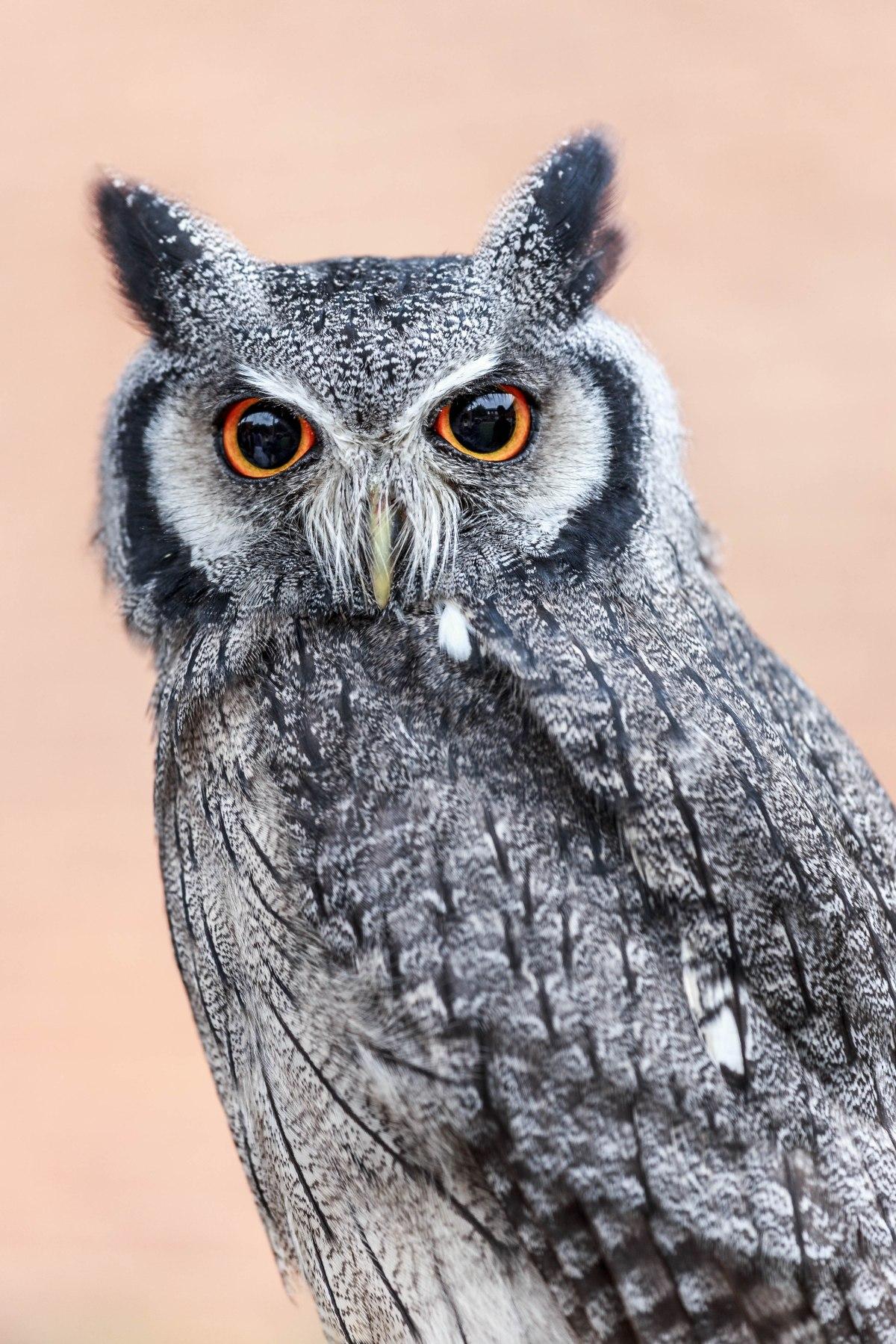 Little Owl UK
